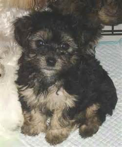 poolky silky terrier poodle mix
