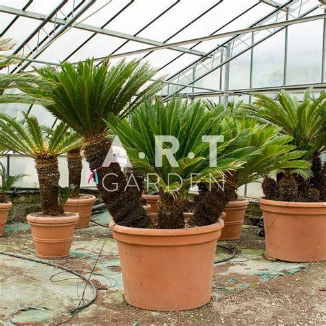 cycas revoluta en pot arbuste original cycas revolutas semblable 224 un palmier nain