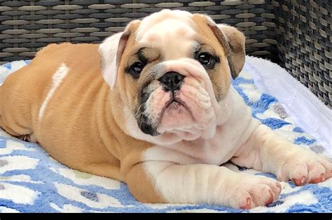 ultimate bulldogs bulldog puppies  sale born