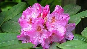 Rhododendron Blüten Schneiden : rhododendron pflegen das richtige schneiden ~ A.2002-acura-tl-radio.info Haus und Dekorationen