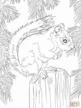 Squirrel Coloring Eekhoorn Ausmalbilder Malvorlagen Kleurplaat American Colorare Kleurplaten Gratis Disegni Printable 1536 2048 Nchen Eichh Ausmalen Supercoloring Tiere Designlooter sketch template