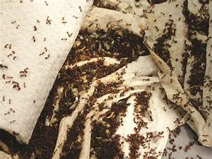 Red Harvester Ant Diagram