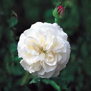 Boule De Rose : boule de neige repeat flowering popular searches ~ Teatrodelosmanantiales.com Idées de Décoration