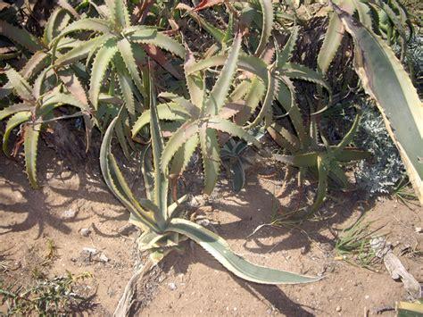 feuilles daloe vera  agadir maroc pour vos maux