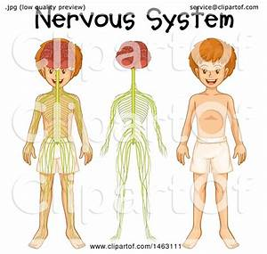 Clipart Of A Medical Diagram Of A Boy And Nervous System