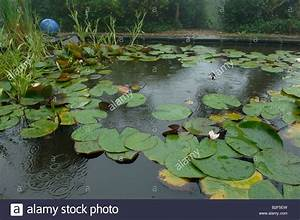 Garden pond in the rain with water lily pads and other ...