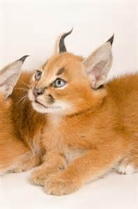 caracal cats photos offer glimpse at oregon zoo s caracal