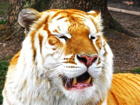 Image Description For Golden Tiger Face Wallpaper