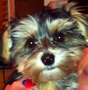Maltese And Yorkie Mix Teacup | www.imgkid.com - The Image ...