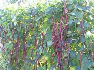 How To Grow Beans -growing Beans -garden Beans