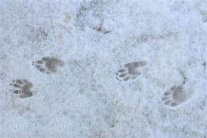 skunk footprint identification | Search Results | Dunia Photo