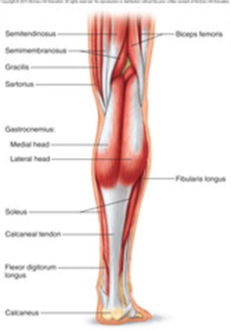 Muscles Of The Pelvic Floor Quizlet by Muscles Of Pelvis Leg Foot Flashcards Quizlet