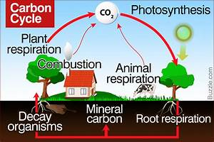 Carbon Cycle Diagram Biology