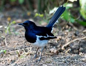Oriental Magpie Robin | Only Photographs
