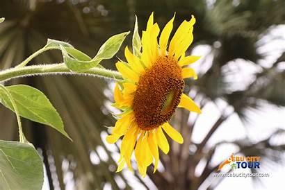 Flower Cebu Farm Sirao Sun Tour Tourist