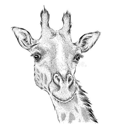 hand draw giraffe portrait hand draw vector illustration