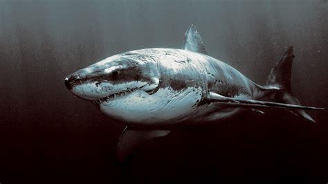 Great Backgrounds Animals Shark Great White Shark Wallpapers Hd Desktop