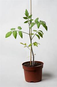 Plant Tomate Cerise : les semis poussent au potager en carr s ~ Melissatoandfro.com Idées de Décoration