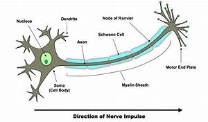 6 5 Nerves  Hormones And Homeostasis