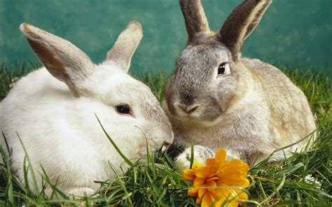 rabbits  funny wallpapers high resolution  hd