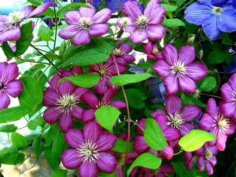 best flowering vines best flowering vines for the northern us gardener s path