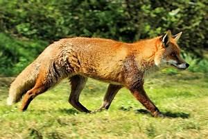 Red fox - Wikipedia  Fox