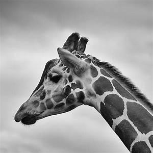 Picalls.com   Giraffe in black and white by Dawn Armfield.
