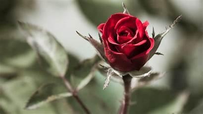 Rose Roses Screensaver Backgrounds Wallpapers Desktop Single