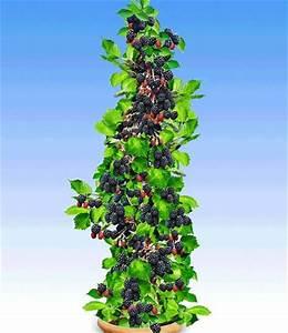 Säulen Pflanzen Winterhart : s ulen brombeeren navaho big early von gartenxxl auf kaufen ~ Frokenaadalensverden.com Haus und Dekorationen