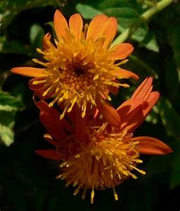Mexican Flame Vine Senecio Confusus a bright flowering