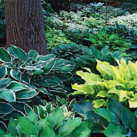 best perennials for shade the best perennials for shade