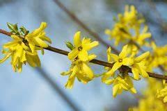 Busch Mit Gelben Blüten : gelber busch an der fr hlings saison stockfoto bild 55919609 ~ Frokenaadalensverden.com Haus und Dekorationen