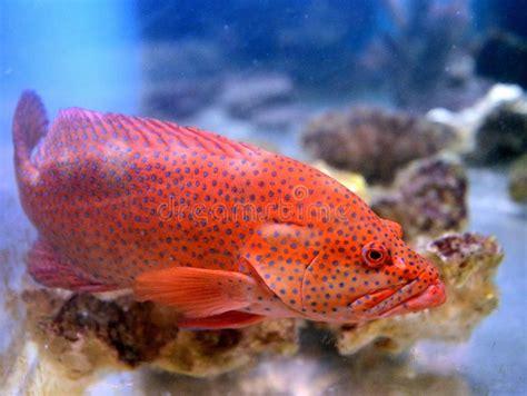 grouper spotted aquarium fish fishing deep sea