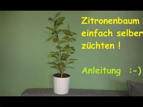zitronenbaum selber ziehen exotische pflanzen zuechten