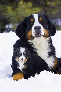 Adult And Puppy Bernese Mountain Dog | Bernese mountain ...