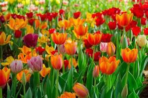 Tulpen Im Glas Ohne Erde : tulpen bl te so verl ngern sie die bl tezeit ~ Frokenaadalensverden.com Haus und Dekorationen