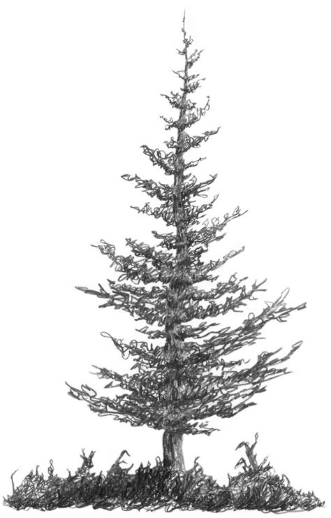 32a2 Squirkle A Realistic Spruce Tree Drawspace
