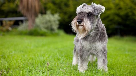Schnauzer Shed by 5 Things You Didnt About Miniature Schnauzers