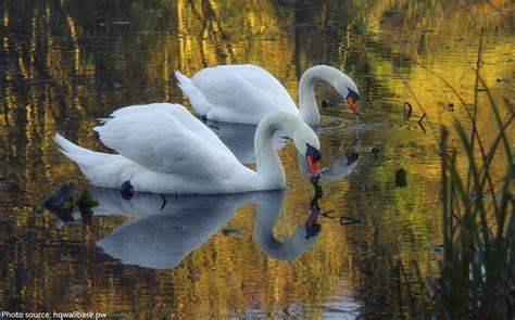 swans swan eating facts interesting lake nature fun pond
