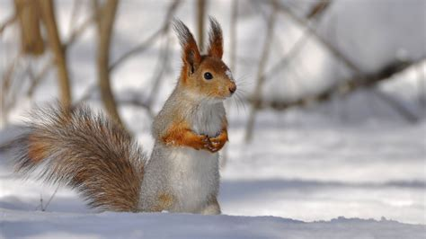full hd wallpaper squirrel snow awesome desktop