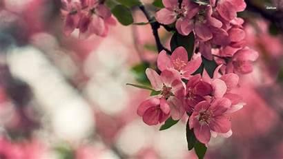 Blossom Cherry Flower Desktop Wallpapers Blossoms Laptop