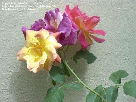 Plantfiles Pictures Floribunda Rose, Climbing Rose