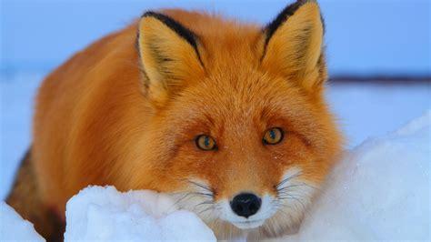 Red Fox (vulpes Vulpes) Part Ii  Help Change The World