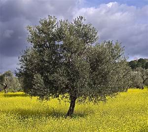 Olive Growing - Harvest to Table