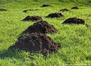 Was Tun Gegen Maulwürfe Im Rasen : wie kann man den maulwurf vertreiben garten hausxxl ~ Lizthompson.info Haus und Dekorationen