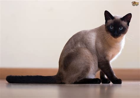 Cats For Adoption Top Petfinder Foundation Siamese Cats Up For Adoption At