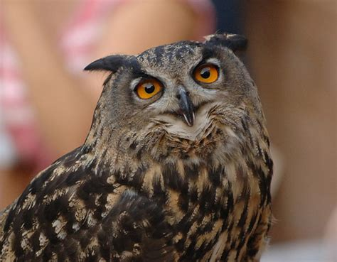 Great Horned Owl Facts For Kids