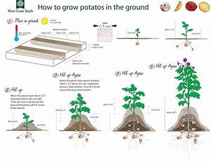 Diagram Of How Potatoes Grow