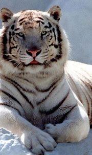 [73+] White Siberian Tiger Wallpaper on WallpaperSafari