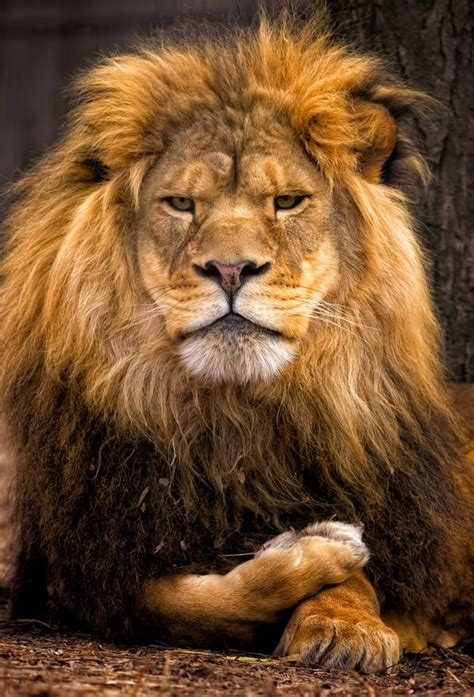 35 Best Taming The Wild Beast (leo) Images On Pinterest